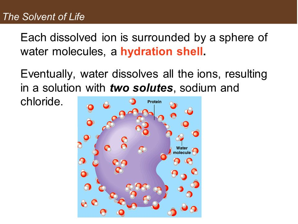 The Solvent of Life Each dissolved ion is surrounded by a sphere of water molecules, a hydration shell.