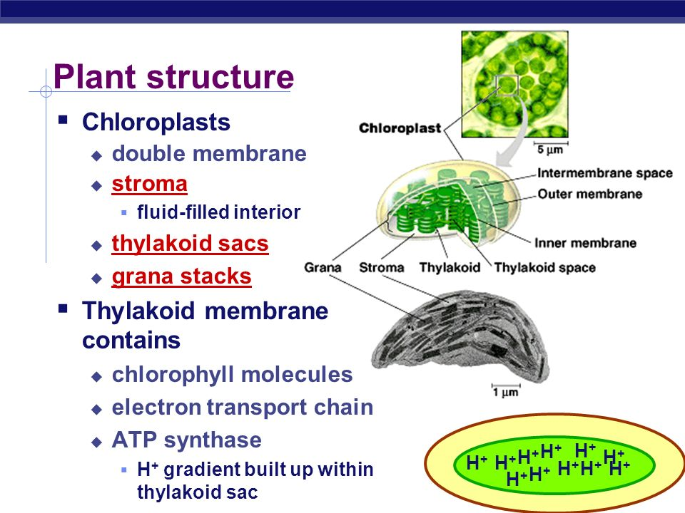 Plant structure Chloroplasts Thylakoid membrane contains