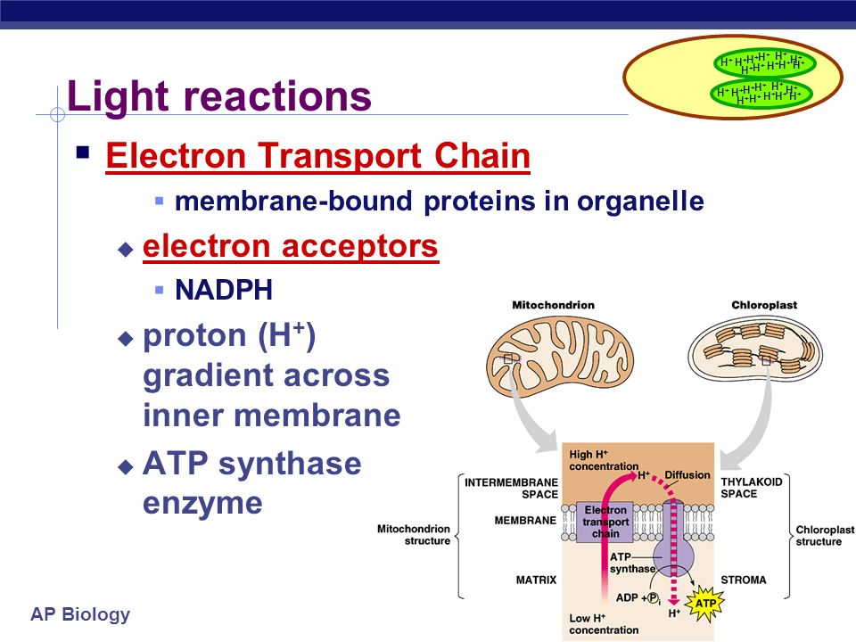 Light reactions Electron Transport Chain electron acceptors