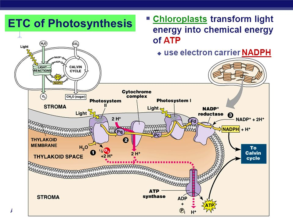 Chloroplasts transform light energy into chemical energy of ATP