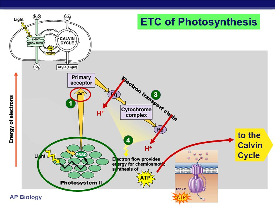 ETC of Photosynthesis to the Calvin Cycle 3 1 H+ 4 H+
