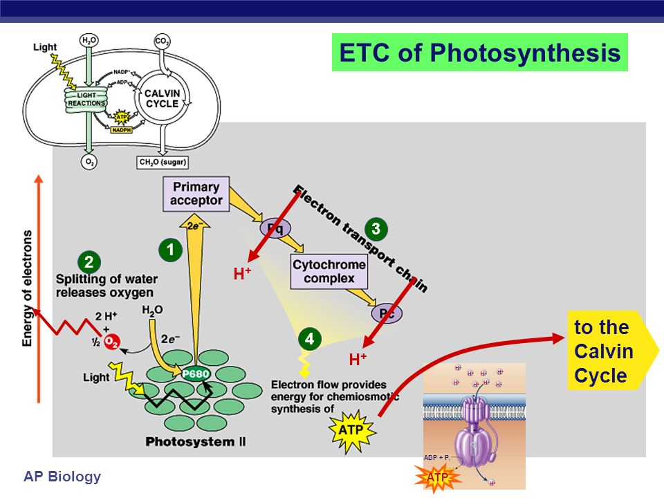 ETC of Photosynthesis to the Calvin Cycle H+ 4 H+ ATP ADP + Pi