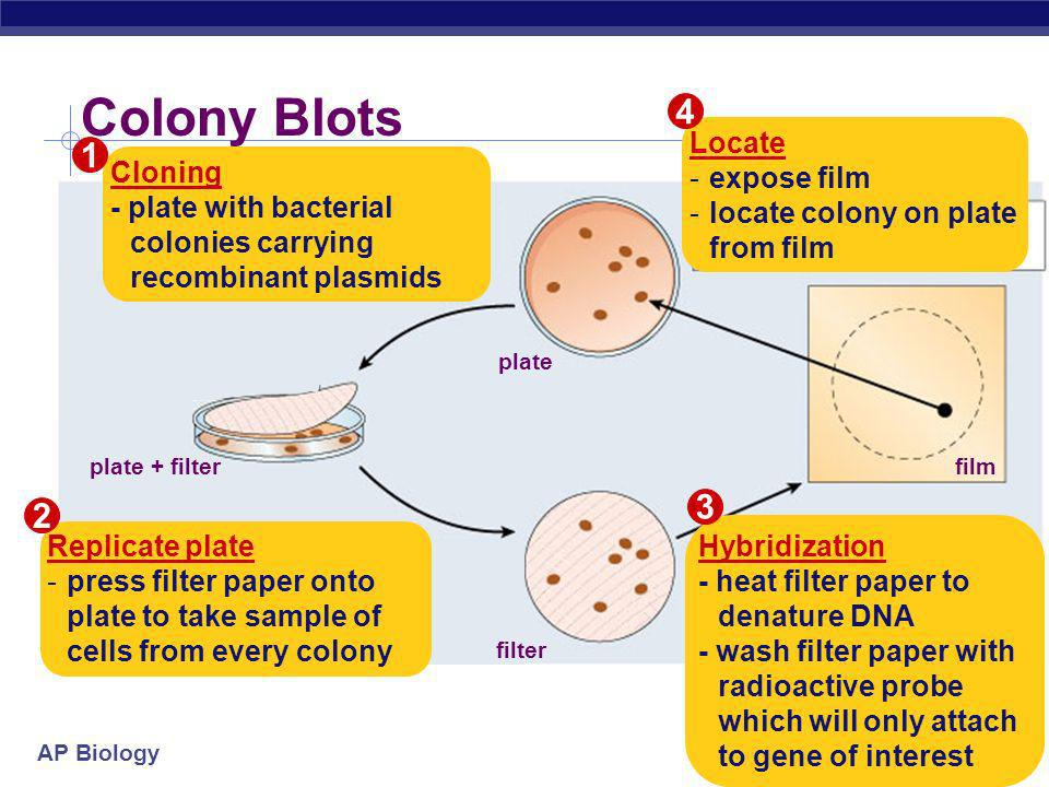 Colony Blots Locate expose film Cloning