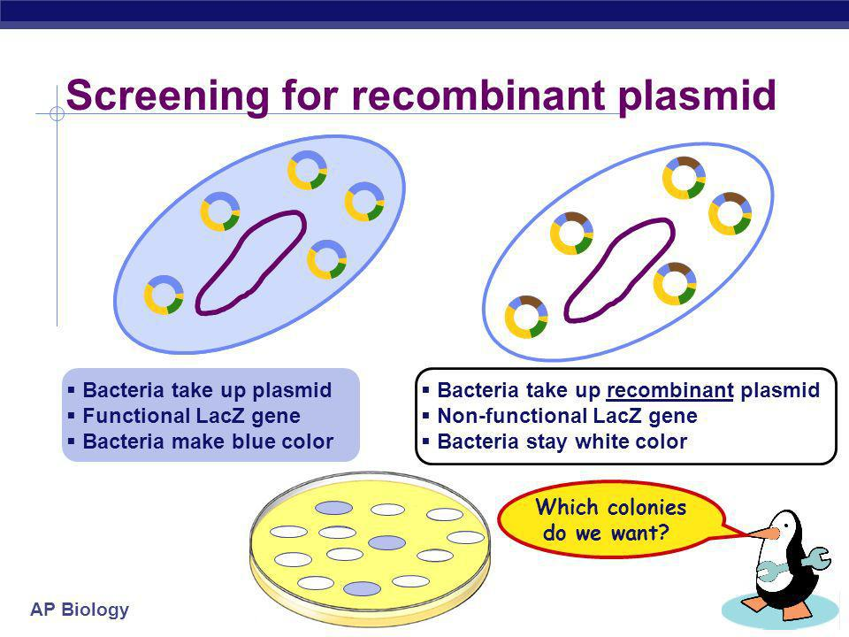 Screening for recombinant plasmid