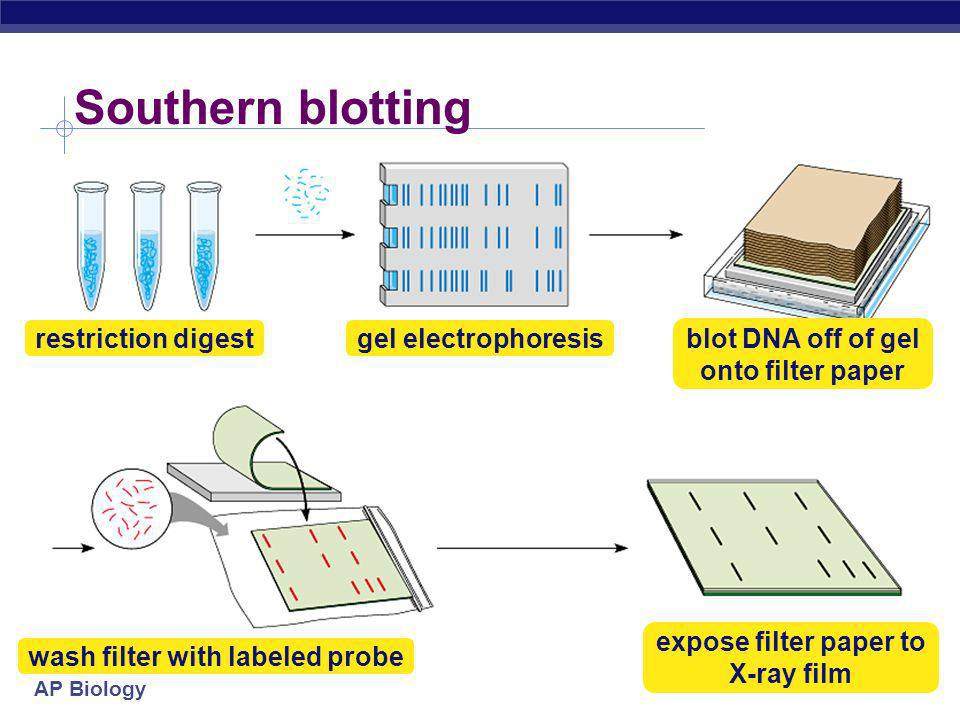 Southern blotting restriction digest gel electrophoresis
