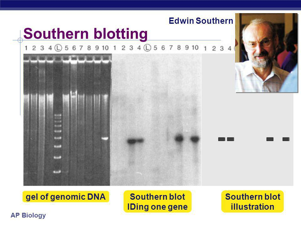 Southern blot IDing one gene Southern blot illustration