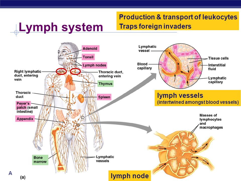 Lymph system Production & transport of leukocytes