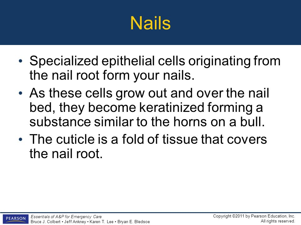 Nails Specialized epithelial cells originating from the nail root form your nails.