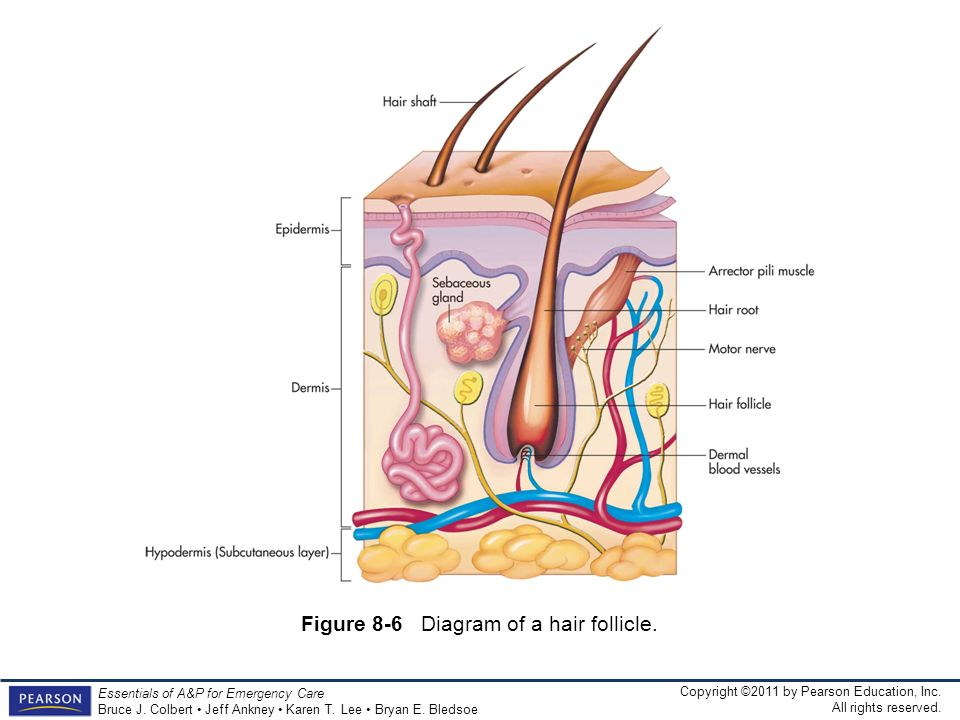 Figure 8-6 Diagram of a hair follicle.