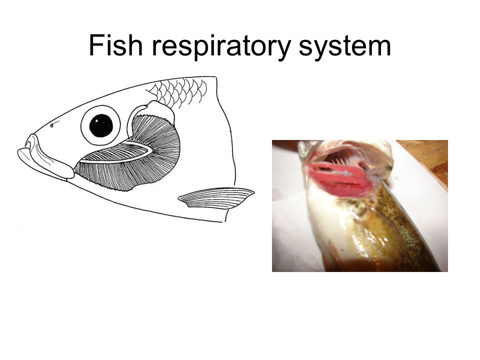 Fish respiratory system