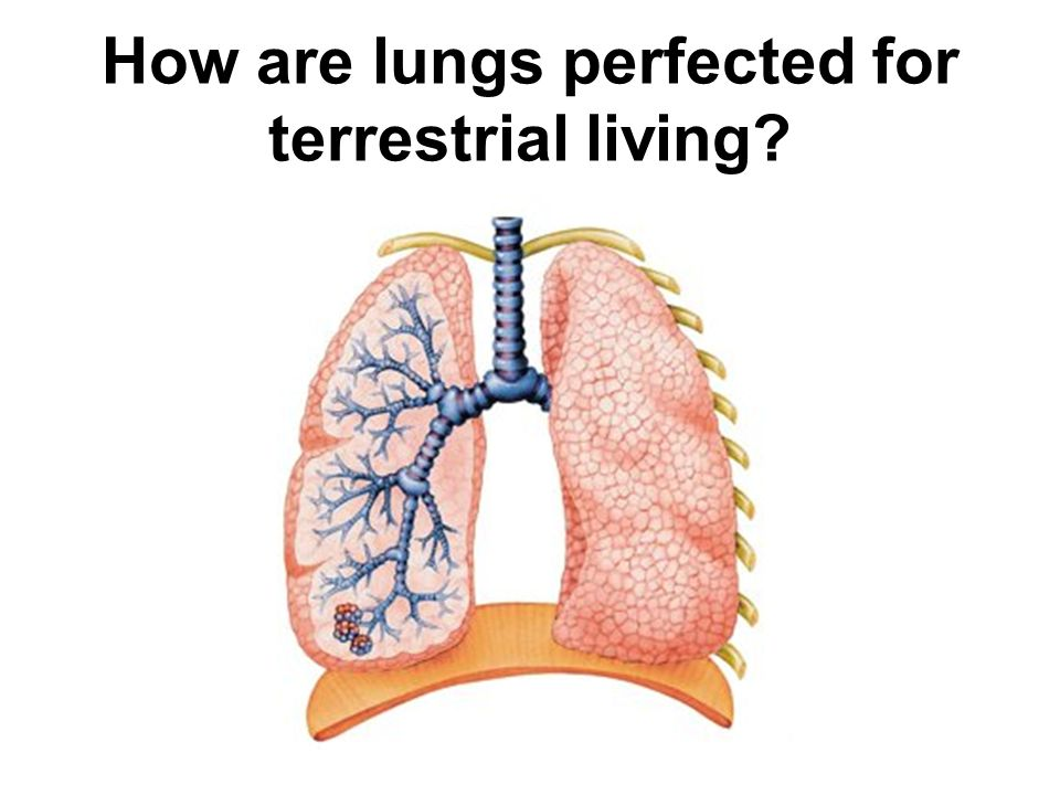 How are lungs perfected for terrestrial living