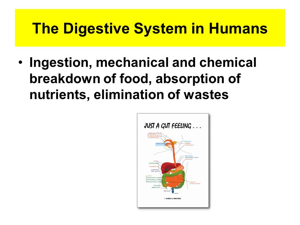 The Digestive System in Humans