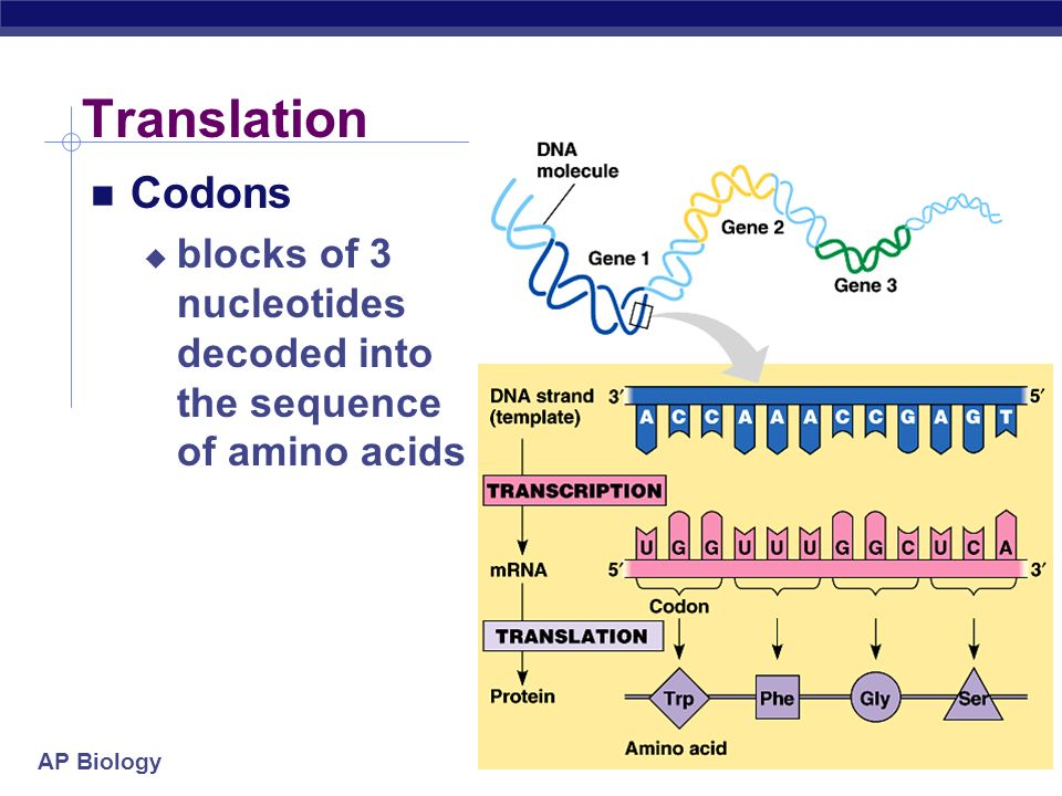 Translation Codons blocks of 3 nucleotides decoded into the sequence of amino acids 2005-2006
