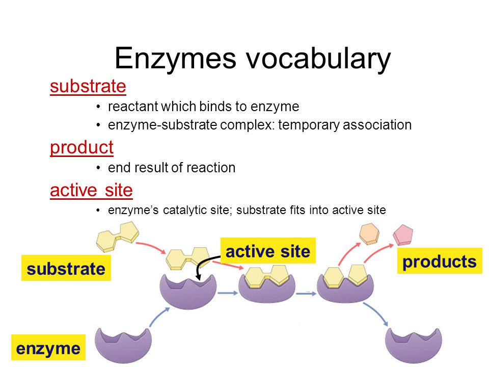 Enzymes vocabulary substrate product active site active site products