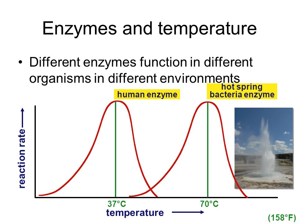 Enzymes and temperature