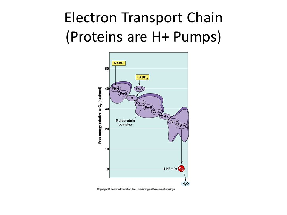 Electron Transport Chain (Proteins are H+ Pumps)