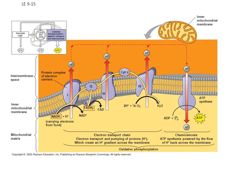 LE 9-15 Inner mitochondrial membrane H+ H+ H+ H+ Protein complex