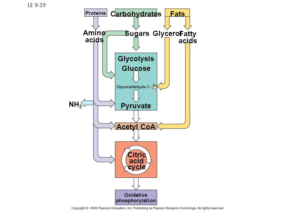 Carbohydrates Fats Amino acids Sugars Glycerol Fatty acids Glycolysis