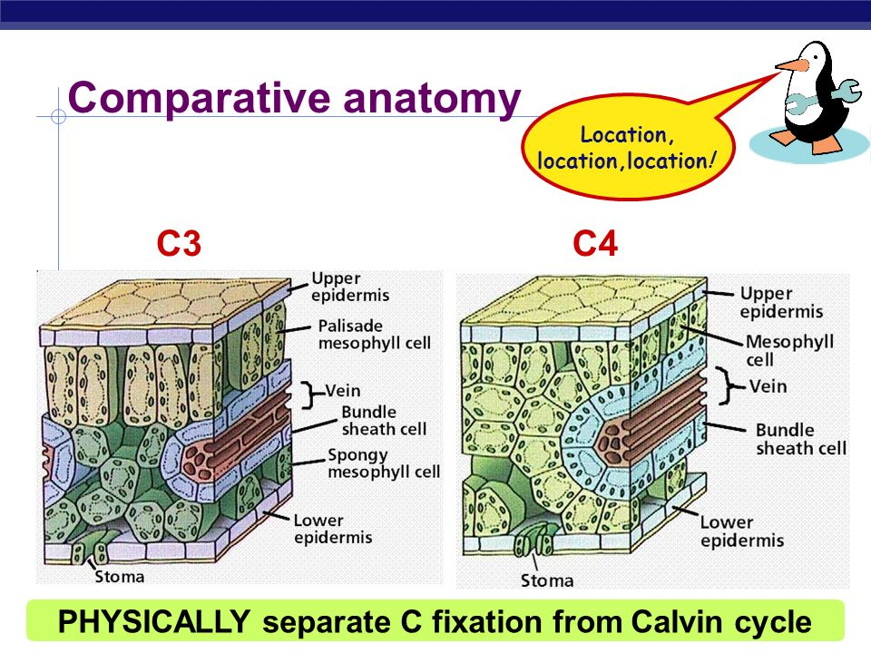 Comparative anatomy C3 C4