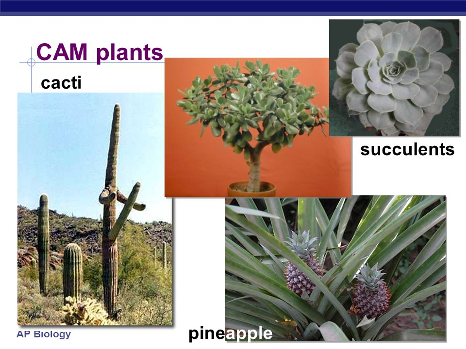 CAM plants cacti succulents pineapple