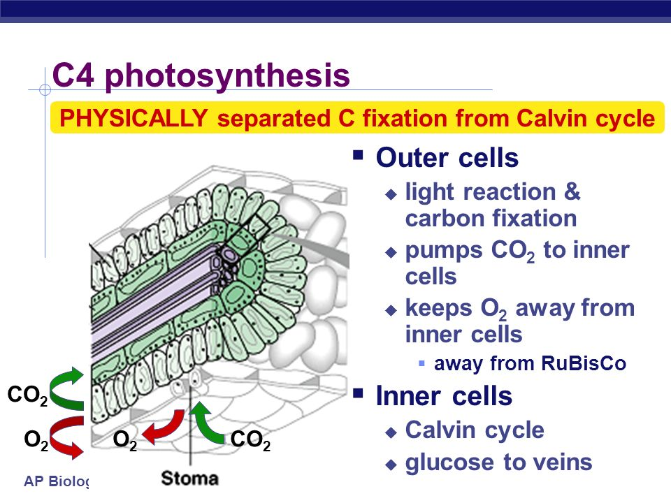 PHYSICALLY separated C fixation from Calvin cycle