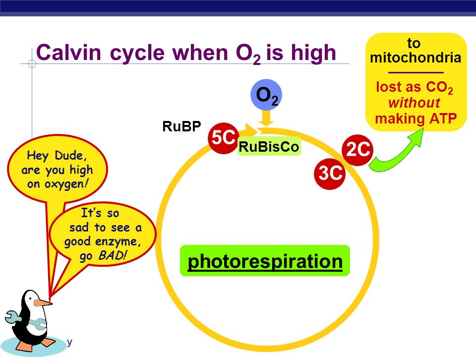 Calvin cycle when O2 is high