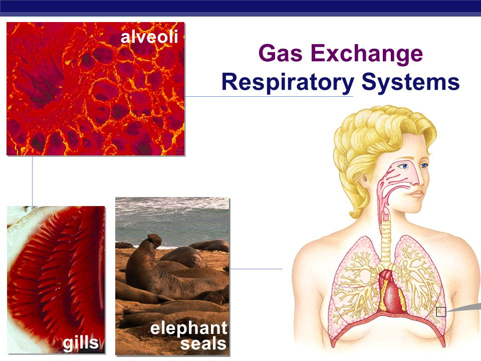 Gas Exchange Respiratory Systems