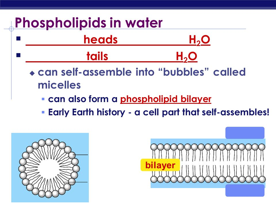 Phospholipids in water