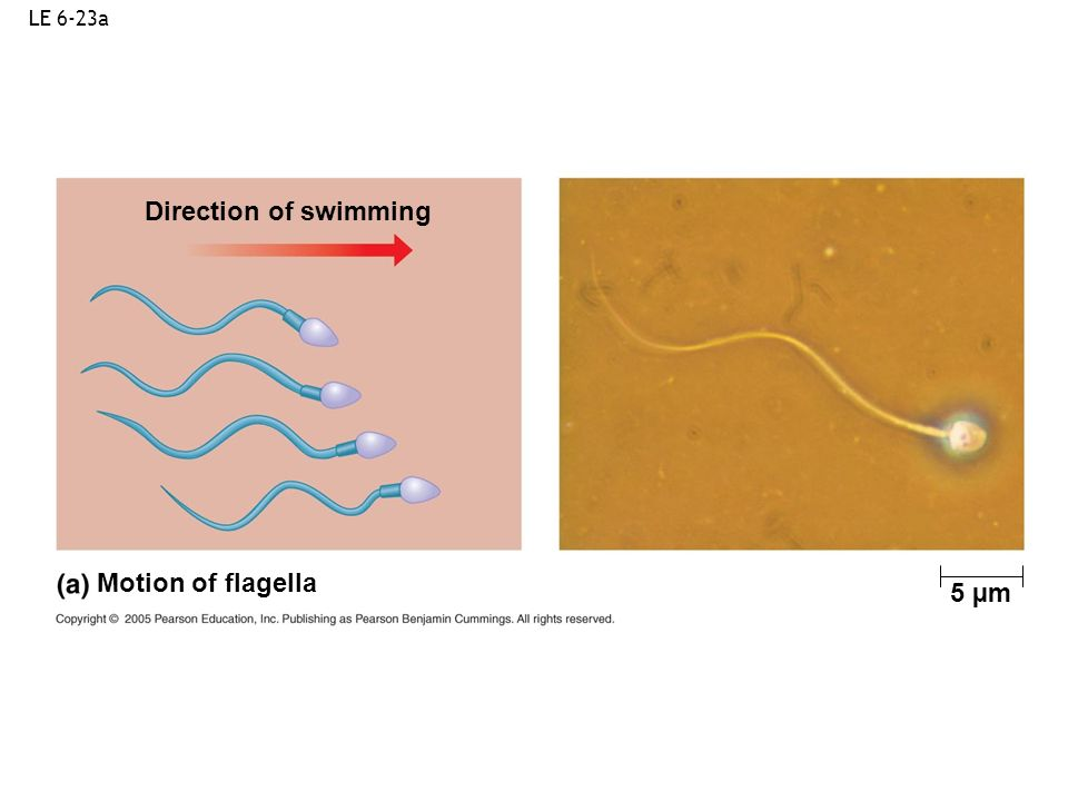 LE 6-23a Direction of swimming Motion of flagella 5 µm