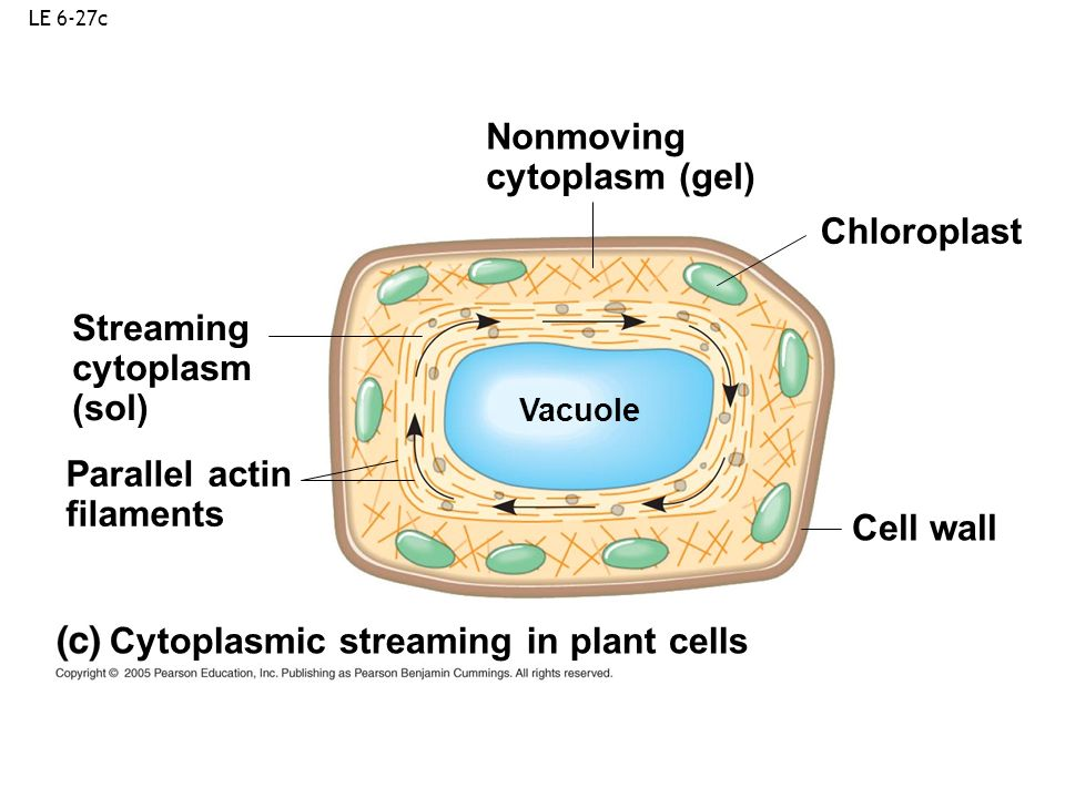 Cytoplasmic streaming in plant cells