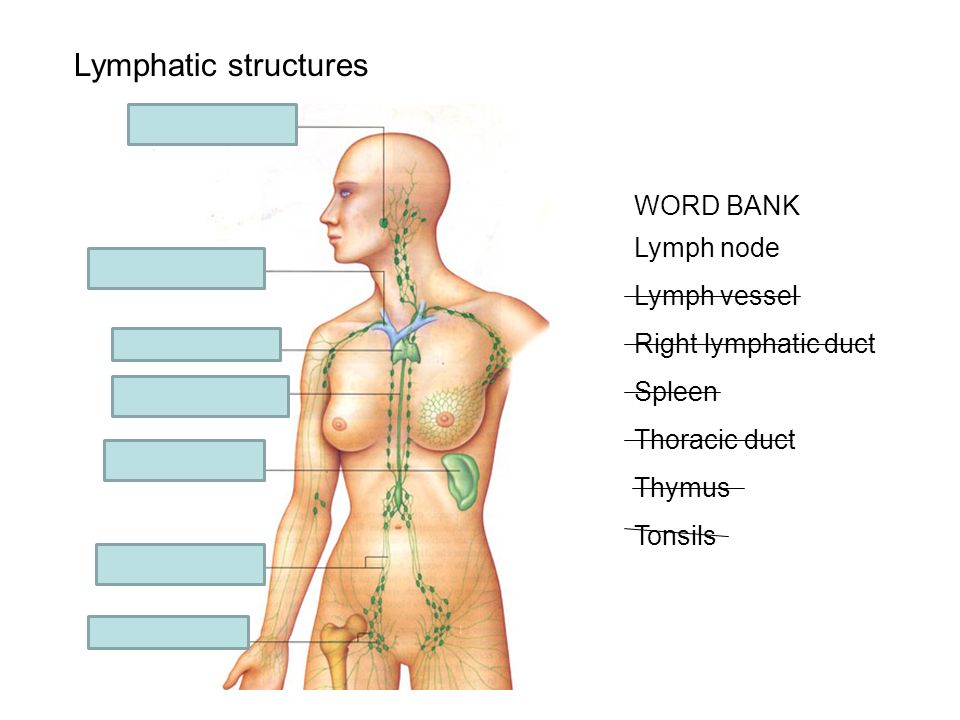 Lymphatic structures WORD BANK Lymph node Lymph vessel