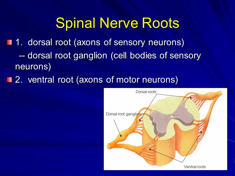 Spinal Nerve Roots 1. dorsal root (axons of sensory neurons)