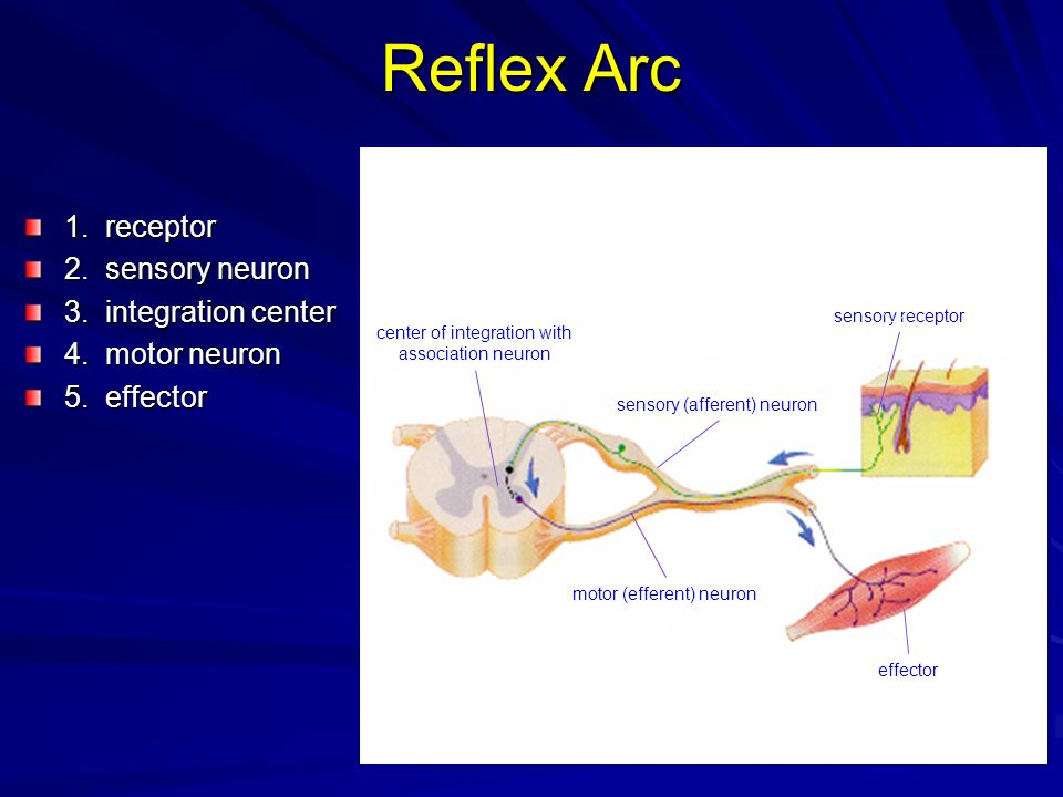 Reflex Arc 1. receptor 2. sensory neuron 3. integration center