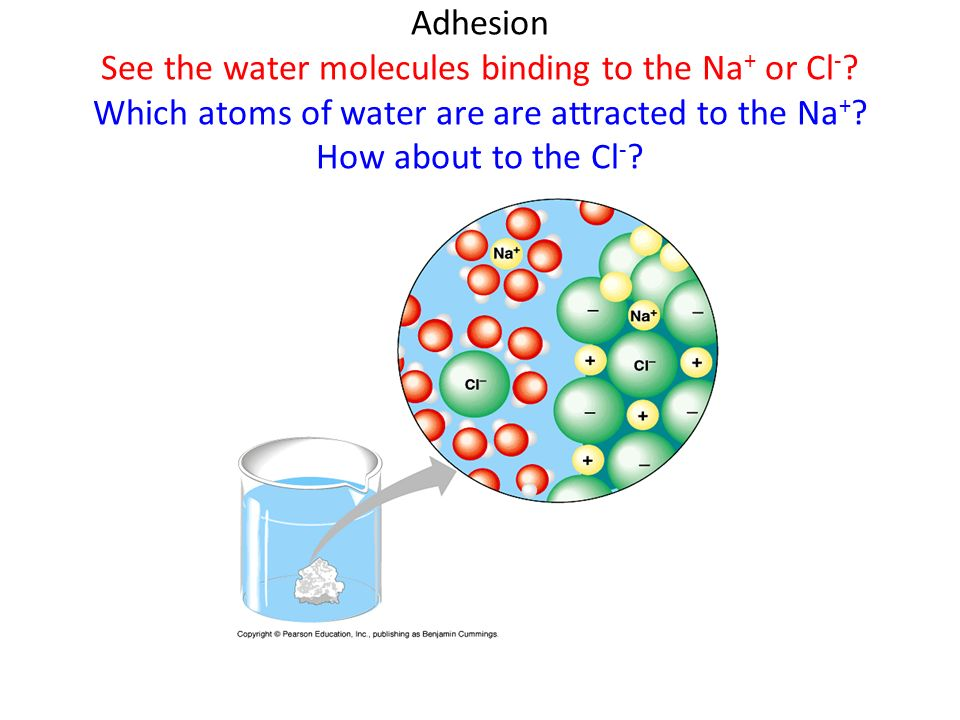 Adhesion See the water molecules binding to the Na+ or Cl-