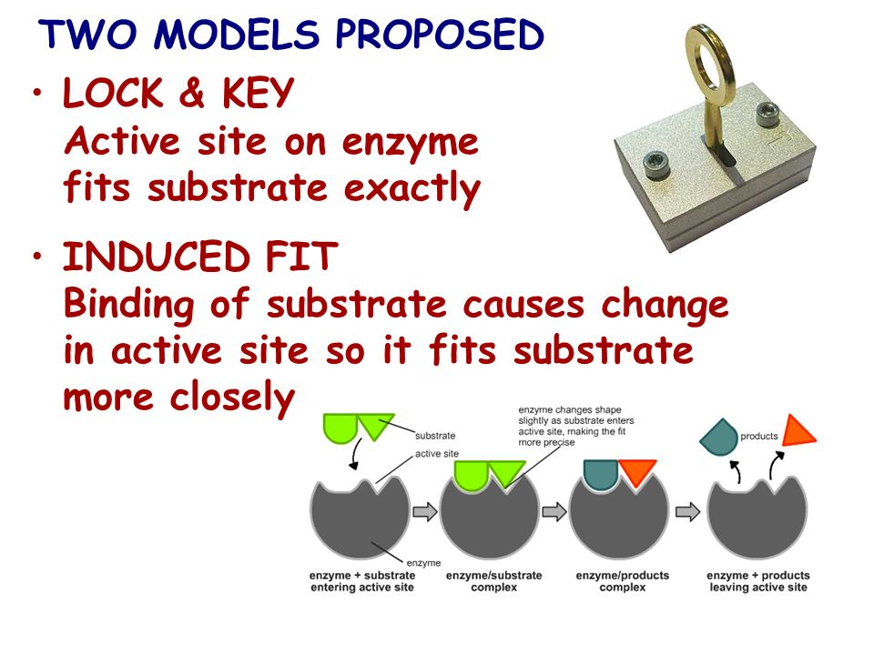 TWO MODELS PROPOSED LOCK & KEY Active site on enzyme fits substrate exactly.