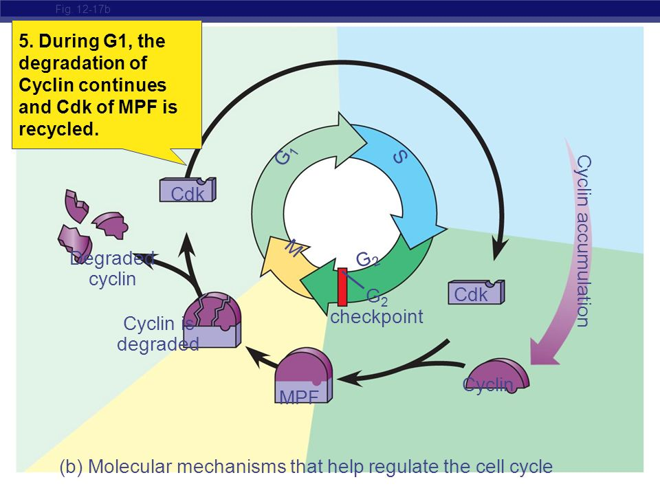 (b) Molecular mechanisms that help regulate the cell cycle