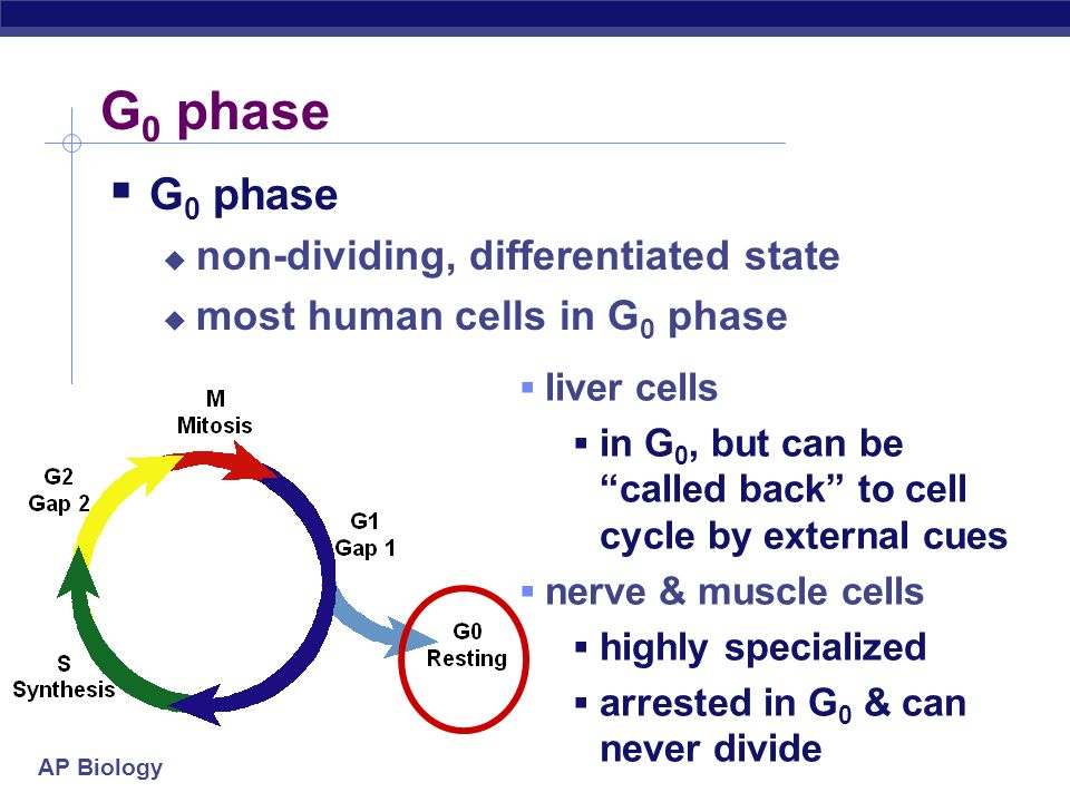 G0 phase G0 phase non-dividing, differentiated state