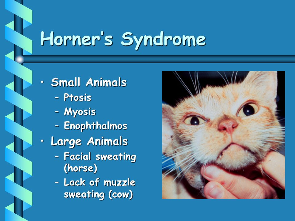 Horner's Syndrome Small Animals Large Animals Ptosis Myosis