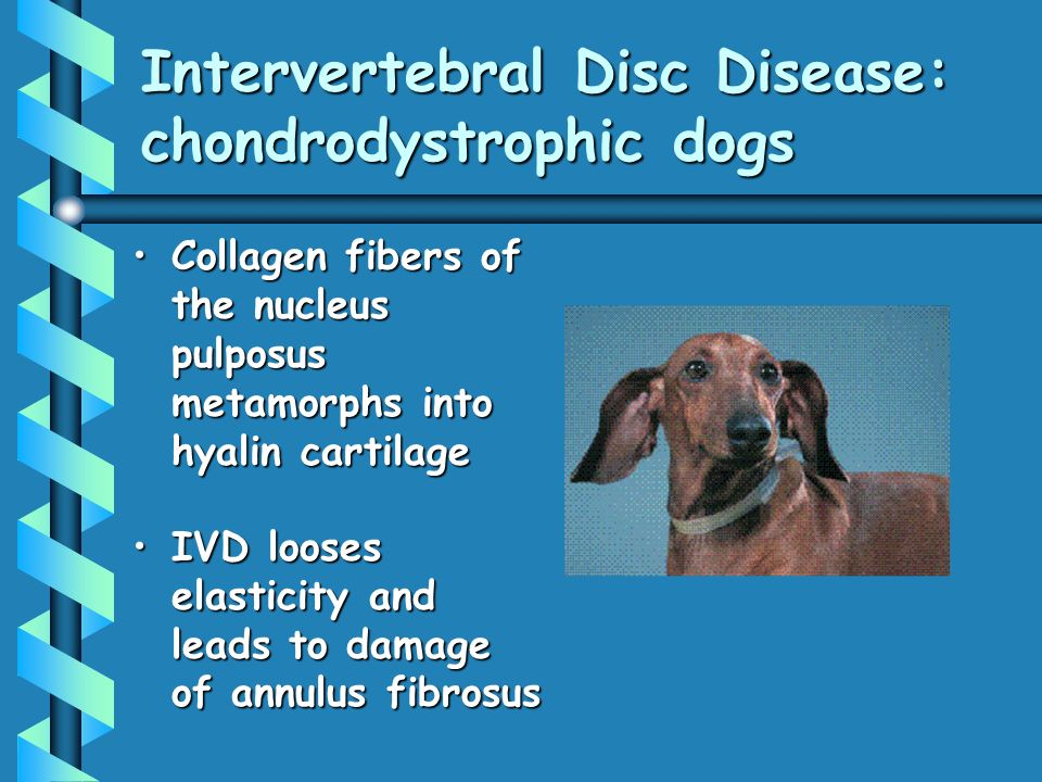 Intervertebral Disc Disease: chondrodystrophic dogs