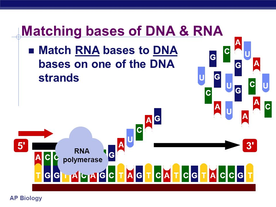 Matching bases of DNA & RNA