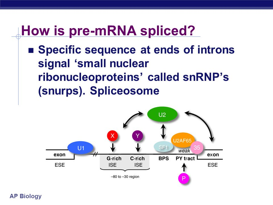 How is pre-mRNA spliced