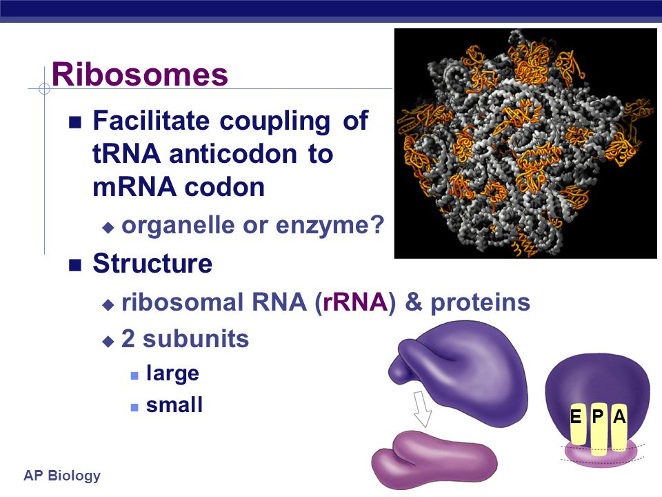 Ribosomes Facilitate coupling of tRNA anticodon to mRNA codon