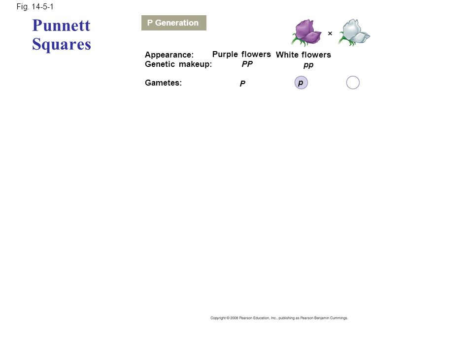 Punnett Squares P Generation Appearance: Purple flowers White flowers