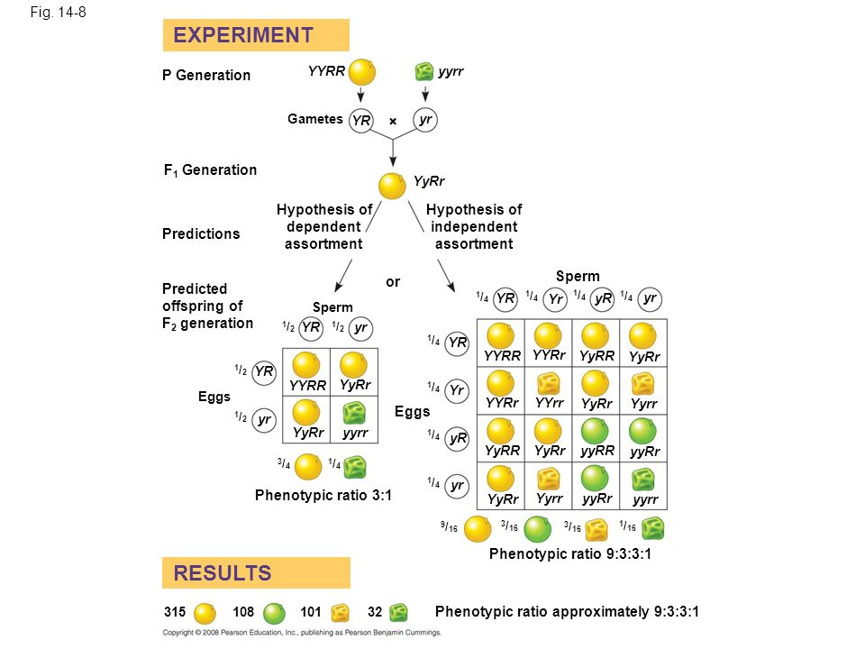 EXPERIMENT RESULTS Fig P Generation F1 Generation Hypothesis of