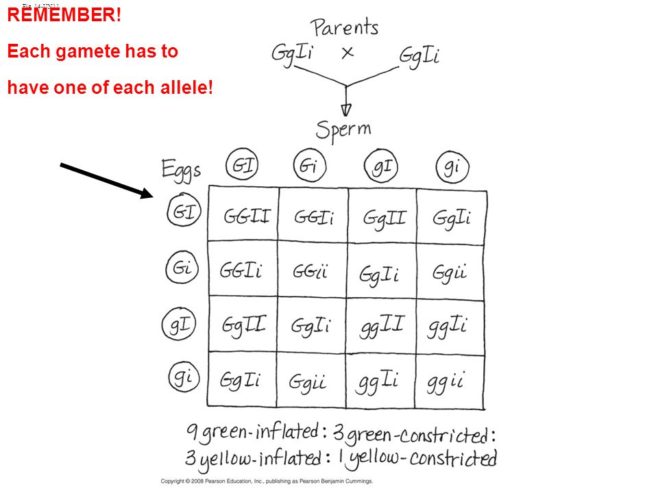 Fig. 14-UN11 REMEMBER! Each gamete has to have one of each allele!