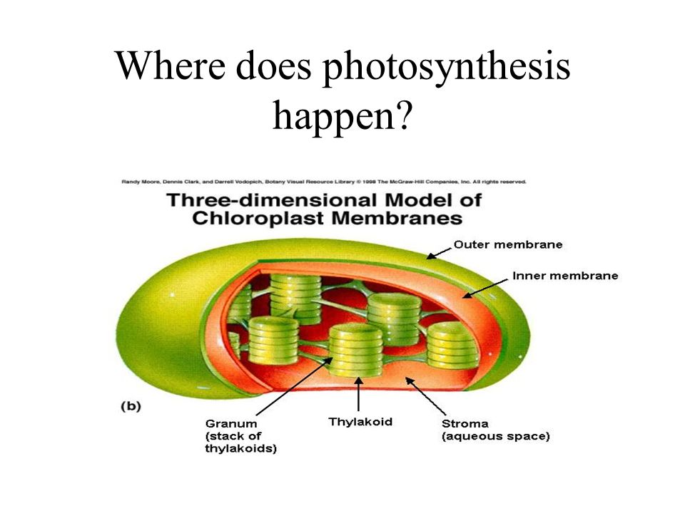 Where does photosynthesis happen