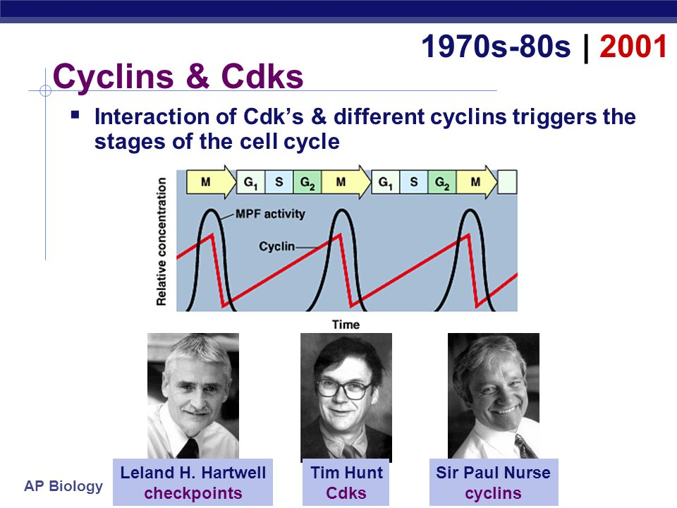 1970s-80s | 2001 Cyclins & Cdks. Interaction of Cdk's & different cyclins triggers the stages of the cell cycle.
