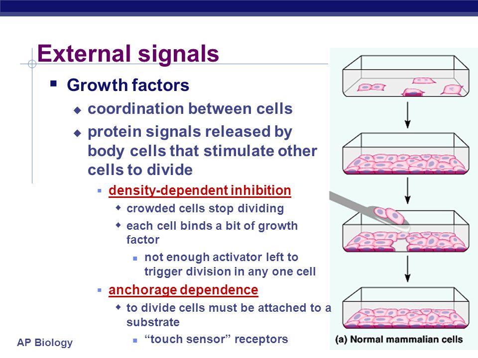 External signals Growth factors coordination between cells