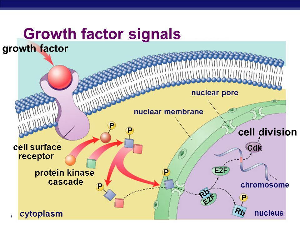 Growth factor signals growth factor cell division cell surface