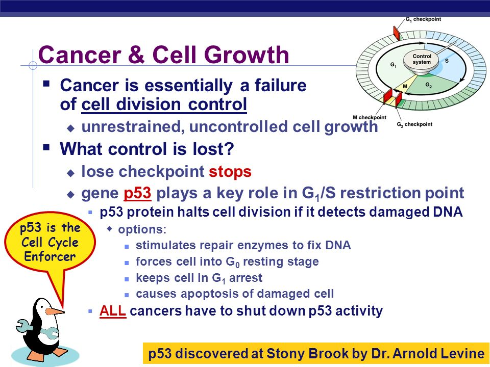 p53 is the Cell Cycle Enforcer